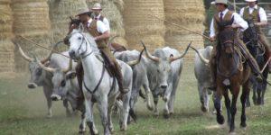 Luoghi da visitare - Butteri tuscanesi a cavallo cme gestiscono una mandria di buoi - tuscaniainfo.it